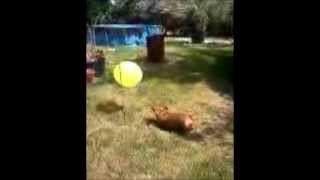 Funny Winnie  Dachshund Weight Loss And Exercise Routine.wmv