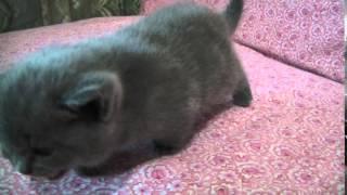 Шотландский котёнок девочка (окрас: светло-серый)
