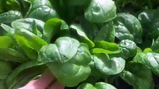 как правильно посеять шпинат  Сроки сева шпината