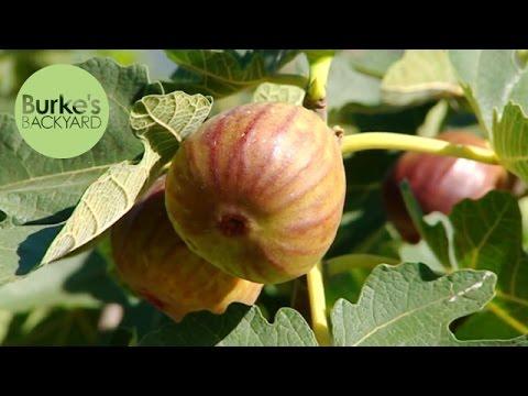 Burke's Backyard, Maggots in Figs