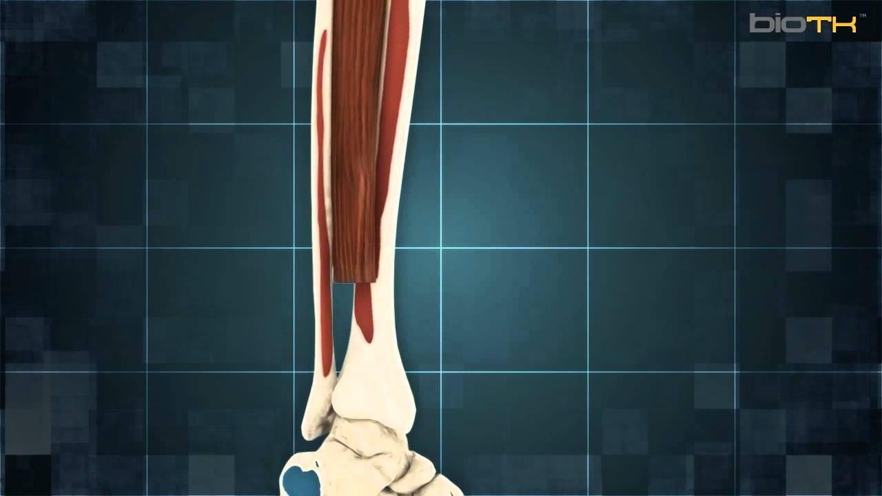 Músculos de la tibia y el perone - YouTube