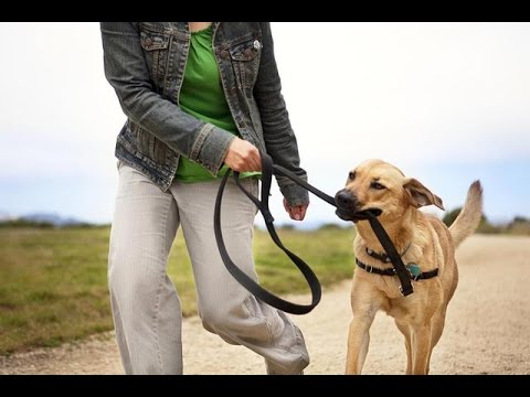 stop-leash-biting---how-to-stop-a-dog-from-chewing-the-leash
