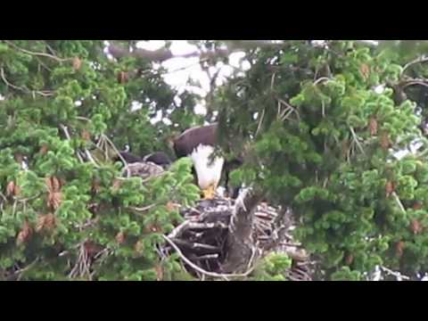 Bald eagle chooses to adopt -- not eat -- baby hawk | CTV News