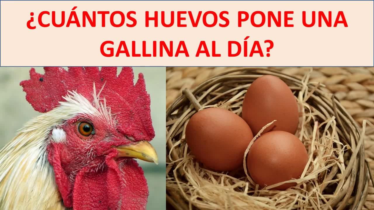 cuantos huevos pone una gallina al dia wikipedia