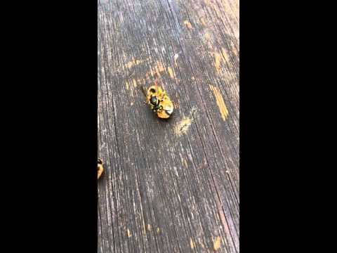 Wasp killing and eating a newborn virgin queen bee