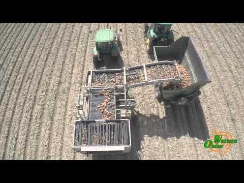 Onion Harvesting In New Cuyama CA