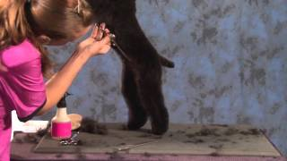 How To Do A Toy Poodle In A Teddy Bear Trim