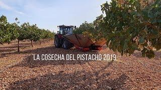 Фисташковый урожай и урожай 2019  - IberoPistacho