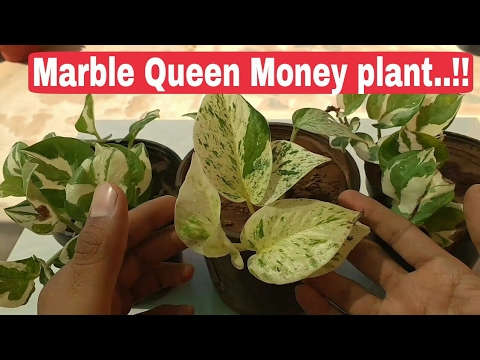 How to care money plant, marble queen money plant, Money plant, different types of pothos plant