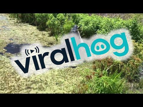 鳄鱼数秒内吞下1.8米的同类!震撼画面曝光(图/视频)