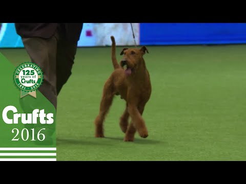 Irish Terrier - Exclusive Behind The Scenes with Best of Breed | Crufts 2016