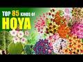 TOP 85 HOYA PLANT VARIETIES!  | HERB STORIES