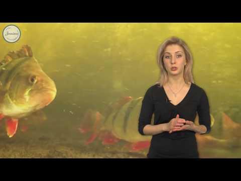 Как размножаются рыбы видео