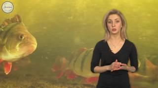 Биология 7 Особенности размножения рыб