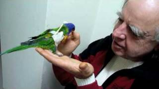 Rainbow Lorikeet with Shoulder Dislocation Fixed Thanks Dr Ross Perry 110610