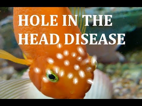 OCTOZIN Parrot fish Chilid with hole in the head (head and lateral line erosion)