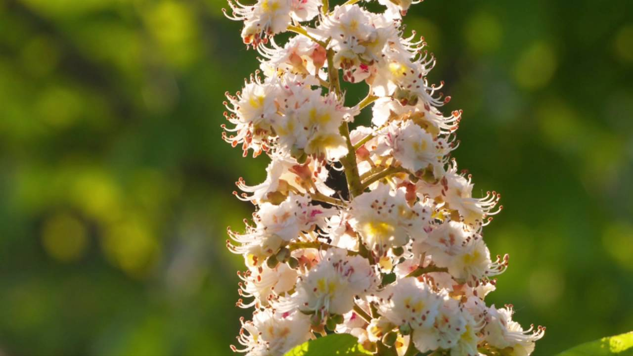Flowers online 2018 horse chestnut flower essence flowers online horse chestnut flower essence these flowers are very beautiful here we offer a collection of beautiful cute charming funny and unique flower images mightylinksfo