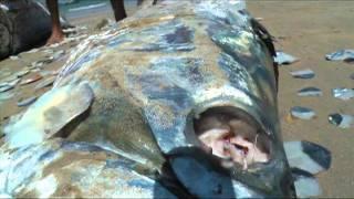 CAMURUPIM - O Peixe que eu queria