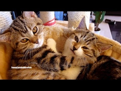Happy Valentine's Day ! Top 20 Kitten and Cat Hugs