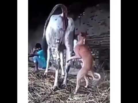 Anjing Vs Sapi Kawin