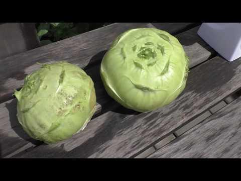 Убираю капусту кольраби Венская Белая, опыт выращивания.