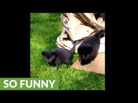 Kittens fearful of their first encounter with grass