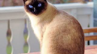 Siamese  Cat Breed  Pet Friend