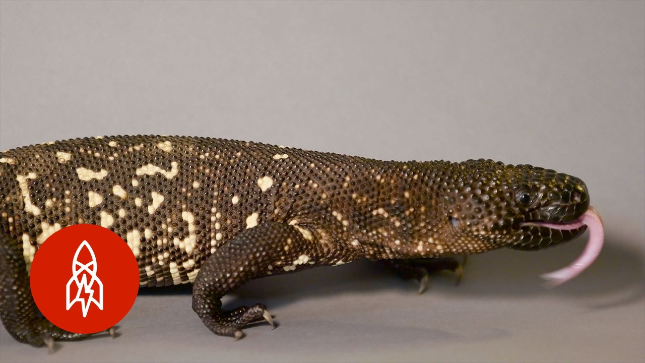 A Poisonous Plight The Guatemalan Beaded Lizard Fights Off Extinction