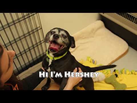 Hershey and Baby-Adopt A Bonded Pair of Rescue Dogs from Pixie!