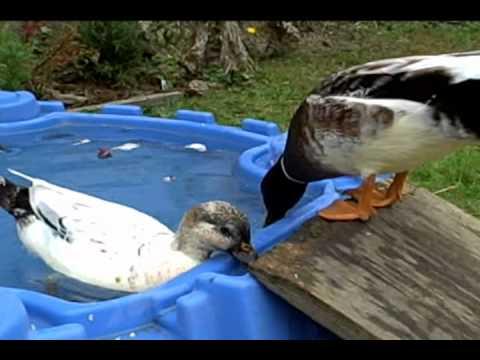 Miniature Appleyard Ducks