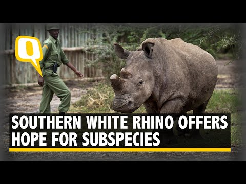 The Northern White Rhino Might Not Become Extinct Yet