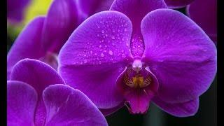 Полив орхидей чесноком 2