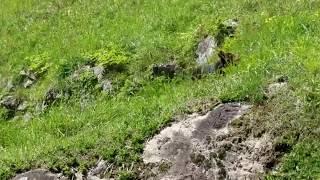 ミニピン コリンくん お山で元気いっぱいに走ってます。 走り方が鹿のよ...