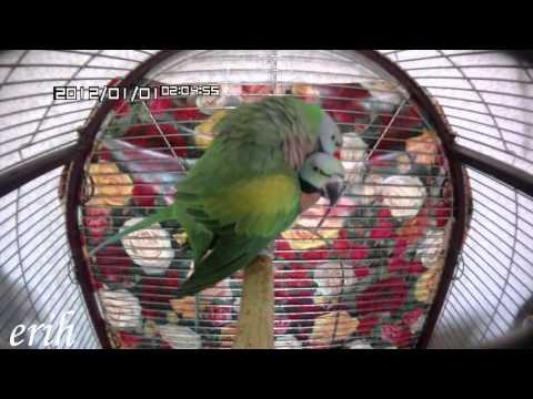 Розовогрудый кольчатый попугай. Ухаживания.