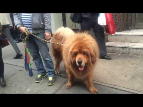 Tibetan mastiff in NYC