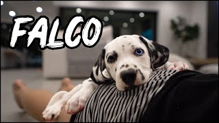 WE GOT A PUPPY! Falco the flirt | 8 week old Dalmatian puppy