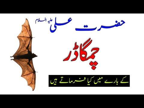 Chamgadar/bat Bird Life Information True Facts By Hazrat Ali (as) In Urdu/hindi