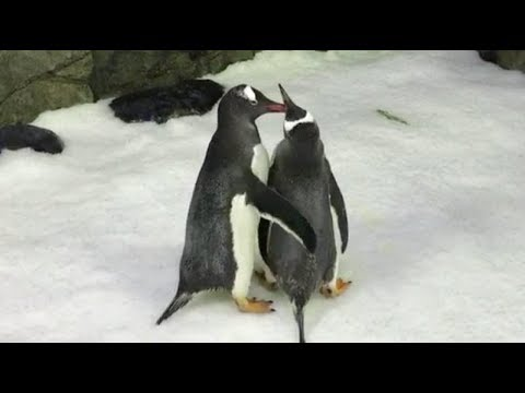 Same sex penguin couple become parents
