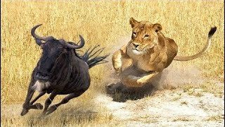 [Best Animal Fights]  ANIMALS ATTACK - Top 10 Most Deadly Animals in Africa including Lions Hippos
