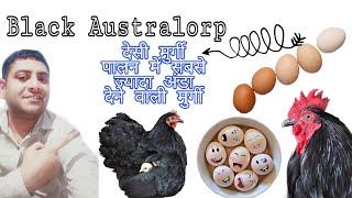 Black Australorp Poultry Farming | Poultry Farming India | देसी मुर्गी पालन