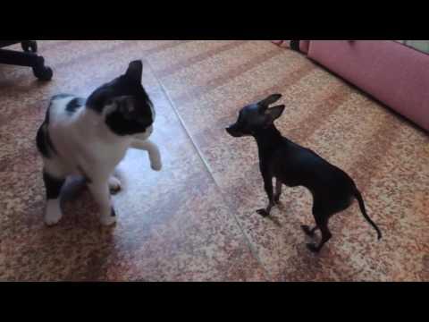 Little dog against cat, funny
