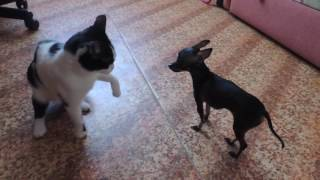 Little dog against cat, funny