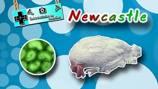 Newcastle disease (The paramyxovirus of birds) | Animal diseases |