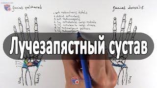 Анатомия лучезапястного сустава - meduniver.com
