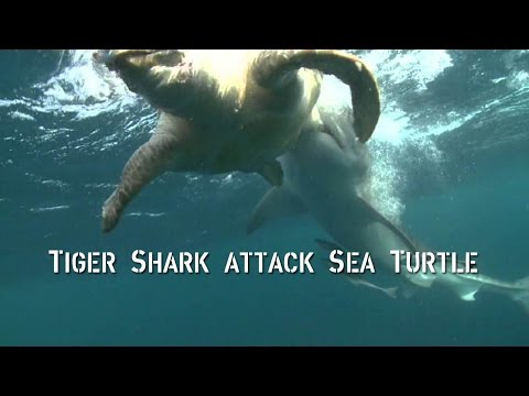 Shark Tries To Eat Sea Turtle Funnycat Tv