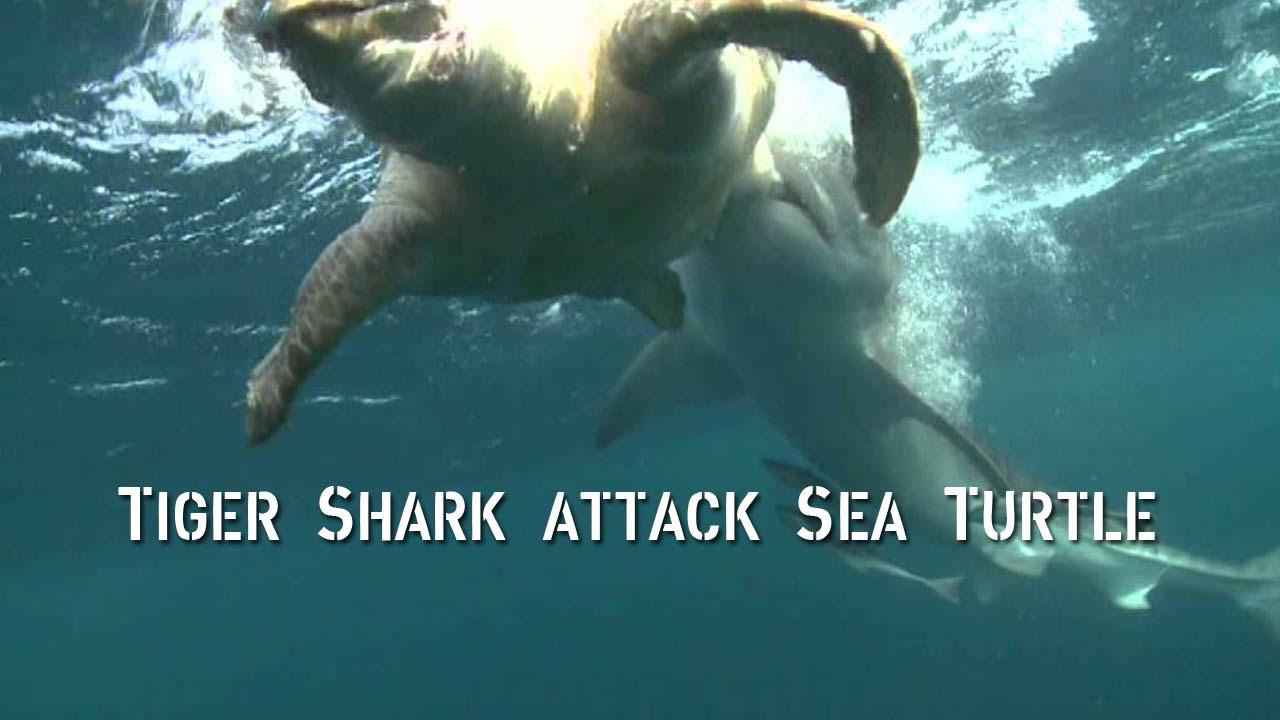 Turtle Attacks Shark |Tiger Sharks Attack Turtle