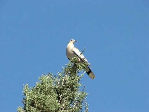White-wing Dove calling