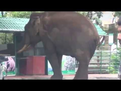 wild elephant road show in munnar - YouTube