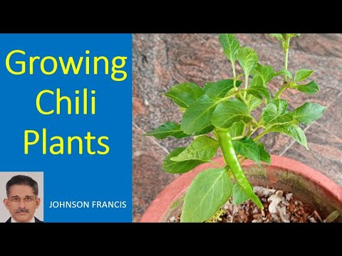 Growing Chili Plants