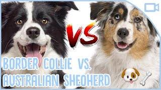 Border Collie vs. Australian Shepherd - Do you have a Border Collie...